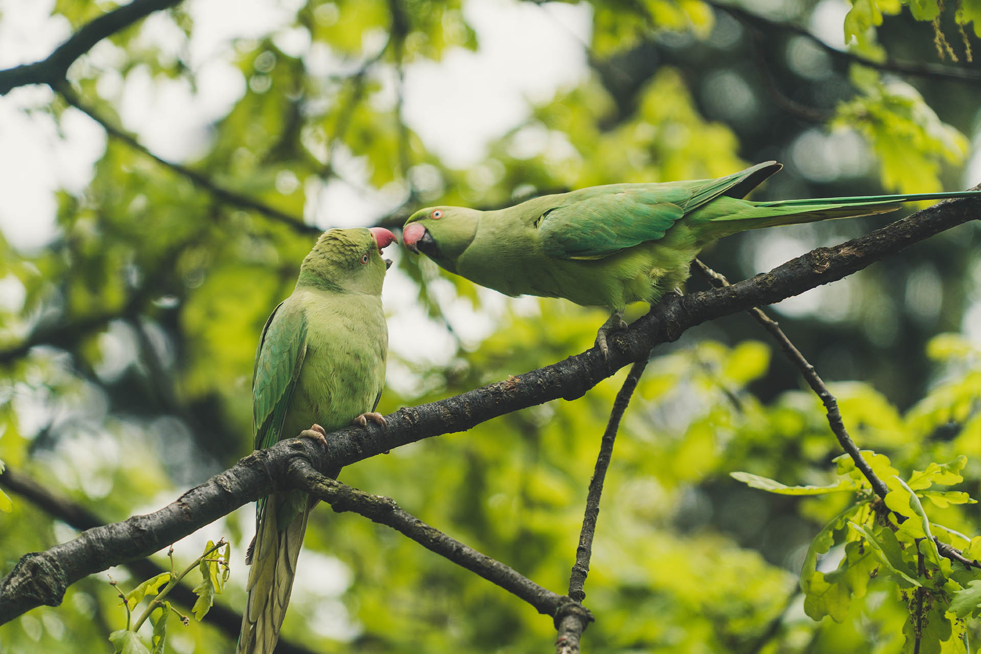Two Parakeets in a tree in Hyde Park, London