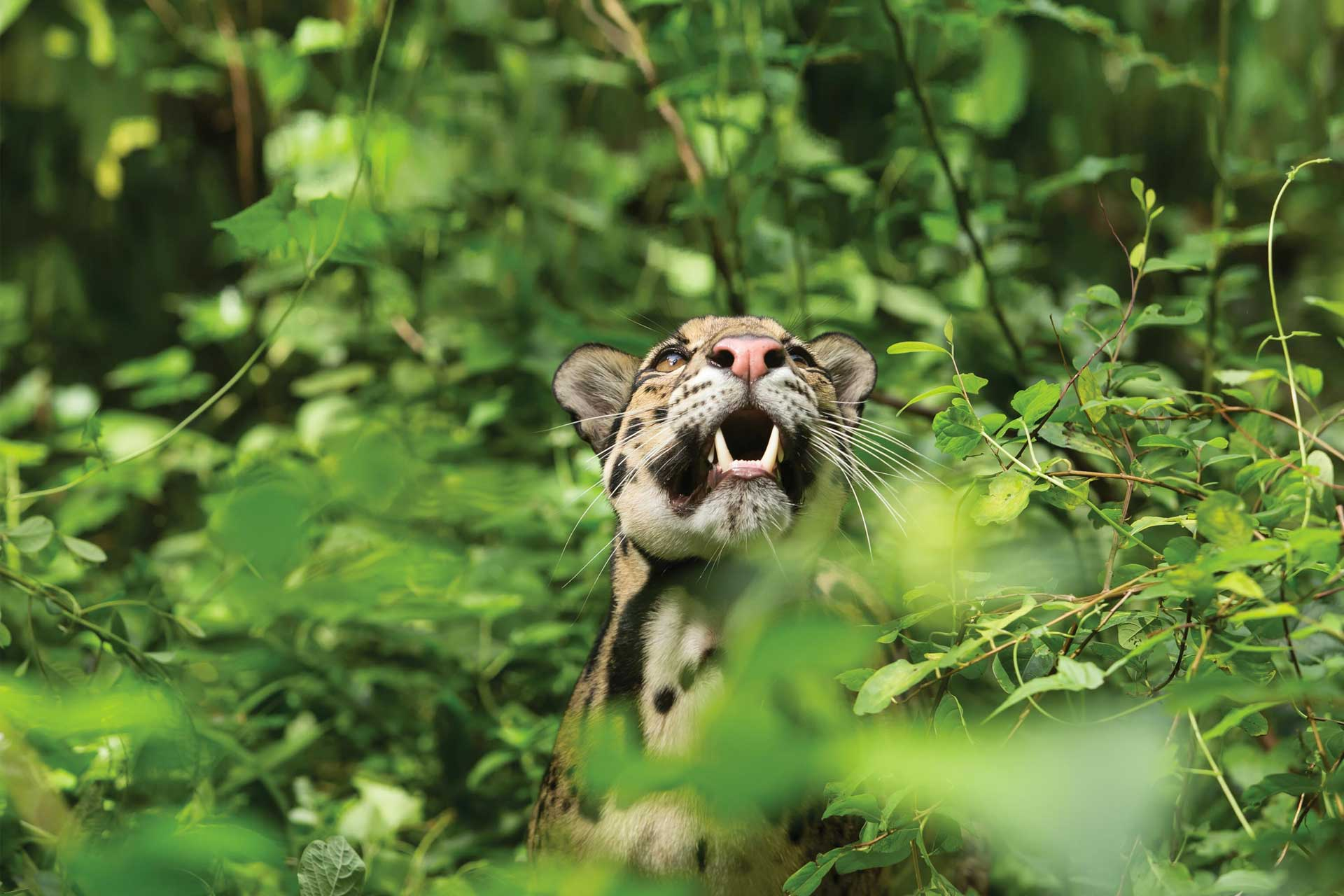 Clouded-leopard-in-forest