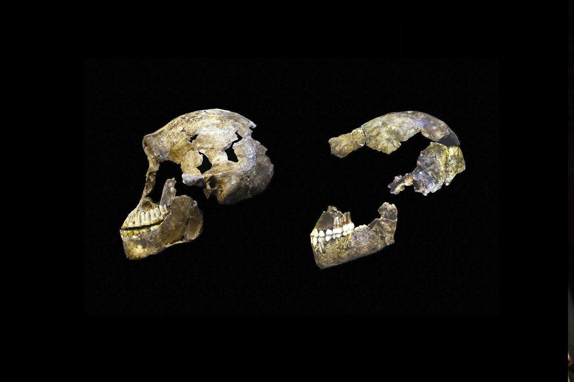 Two skulls - 'neo' and homo naledi